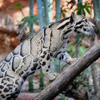 This Clouded Leopard is real.
