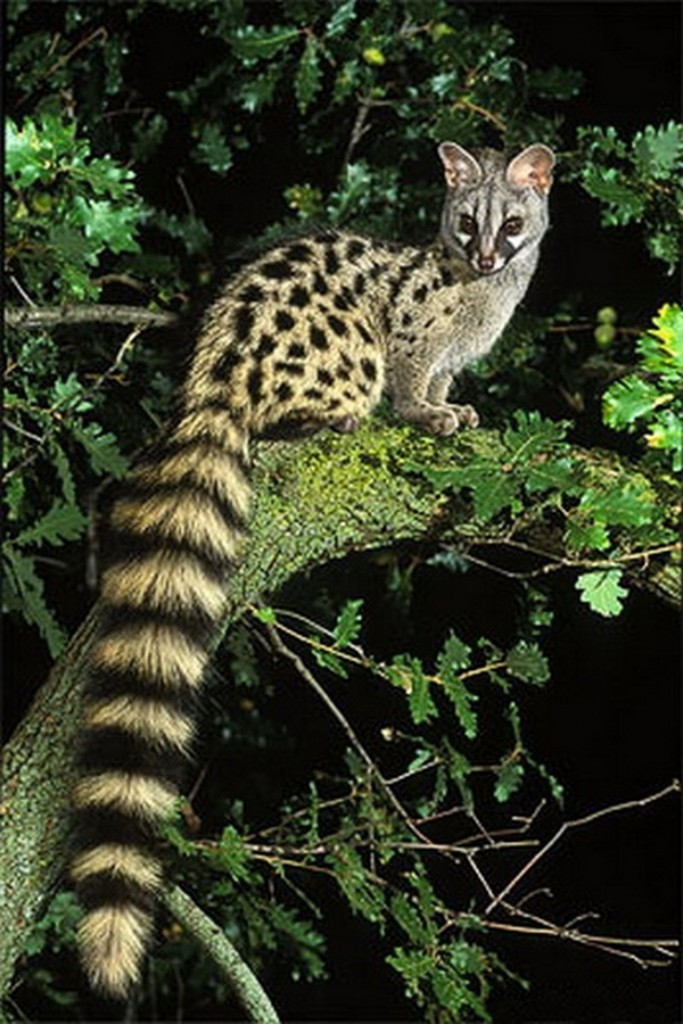 This Genet is real.