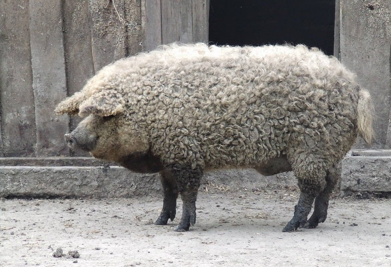 Mangalitsa or Mangalica is a rare breed of pig of Hungarian origin that has curly hair over its body,.. The fleece can be black, or red, but is most commonly blond.  It's real.