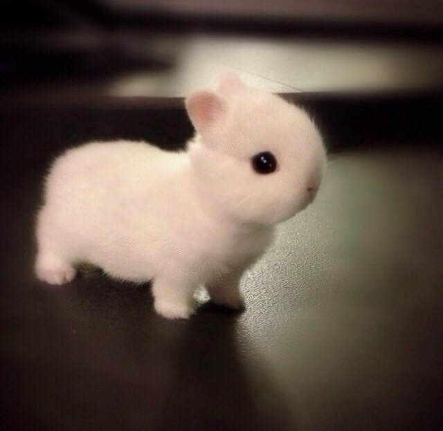 This Netherland Dwarf rabbit is real.