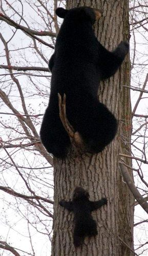 animals, bears in tree
