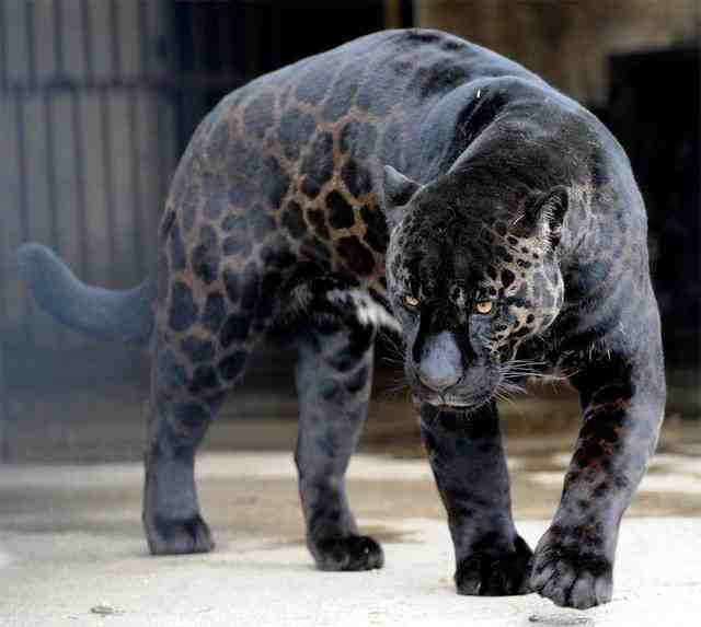 Blue jaguar