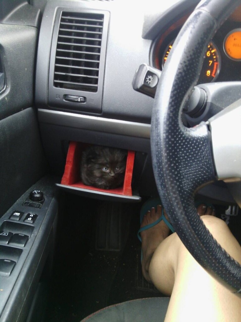 animals, car with kitten holder