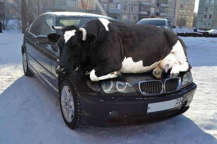 animals, cow on car