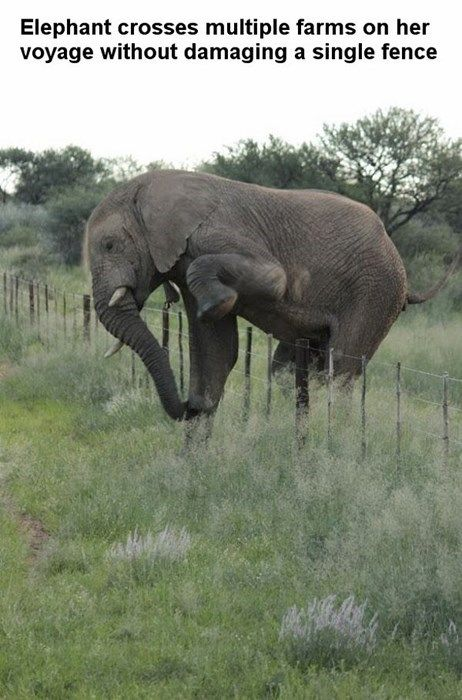 This elephant traveled miles and miles climbing over many fences and never damaged one fence.