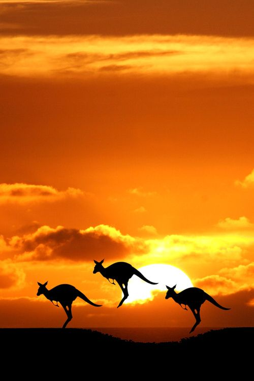 animals, kangaroos