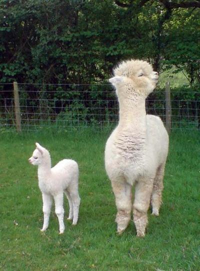 An alpaca, I think.