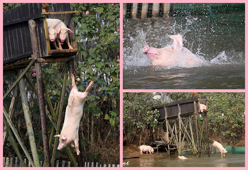 animals, pigs party via