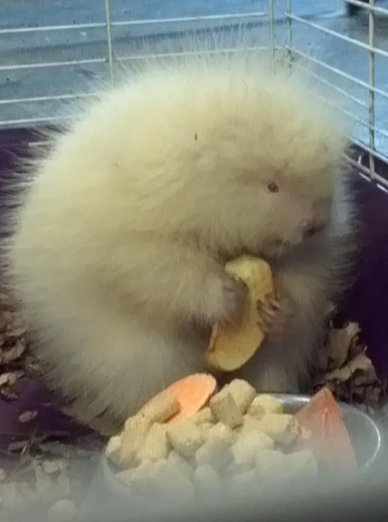 Could this be an albino beaver or porcupine?