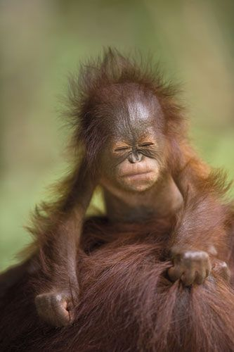 Baby orangetang