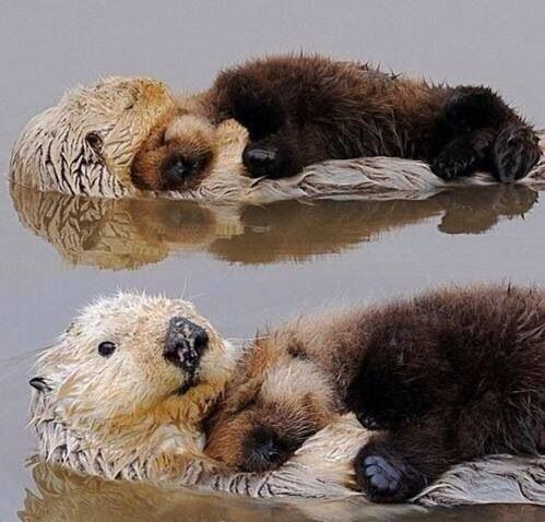 animalsl, otters with pups