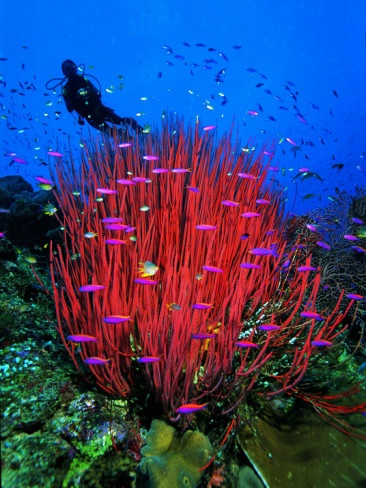 Scarlet Red Soft Qirt Corals