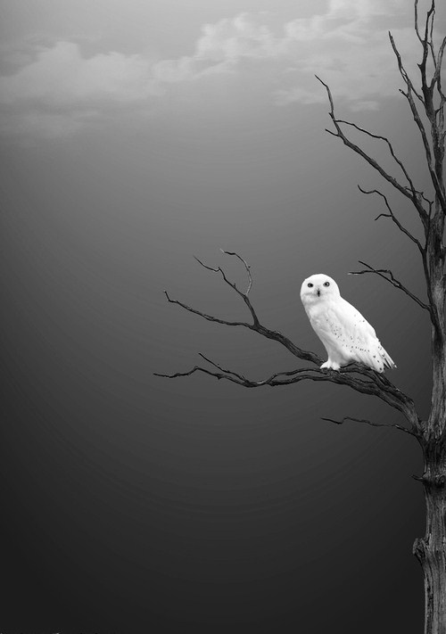 exqui image, snow owl
