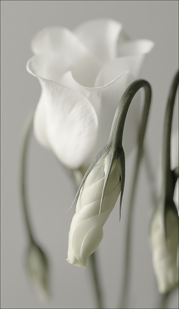 exqui image, white flower