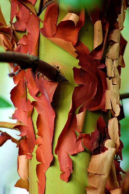 Arbutus Tree and Bark by kirchypics on flickr