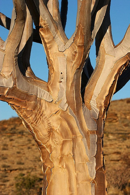 Quiver tree by Jason Webber on flickr
