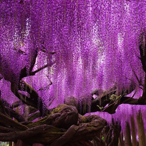 tree-144-year-old-wisteria-in-Japan-by-tungnam.com_.hk_-e1437690489632