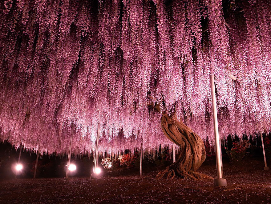At 1,990 square meters (about half an acre), this huge wisteria is the largest of its kind in Japan. By Y-fu