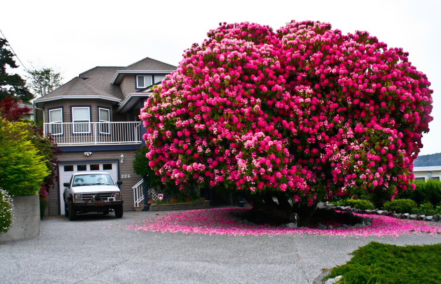 This huge 125-year-oldold rhododendron is technically not a tree – most are considered to be shrubs.