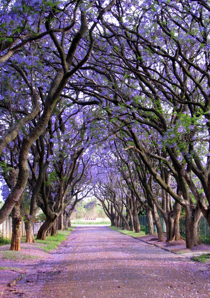 Jacarandas in South Africa, by Elizabeth Kendall