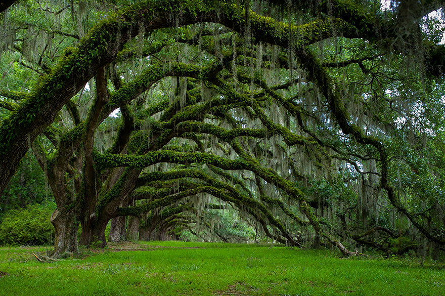 Oak trees, South Carolina by  Lee Sosby