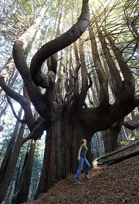 The grove of 'candelabra' redwoods, known as the Enchanted Forest,  Shady Dell