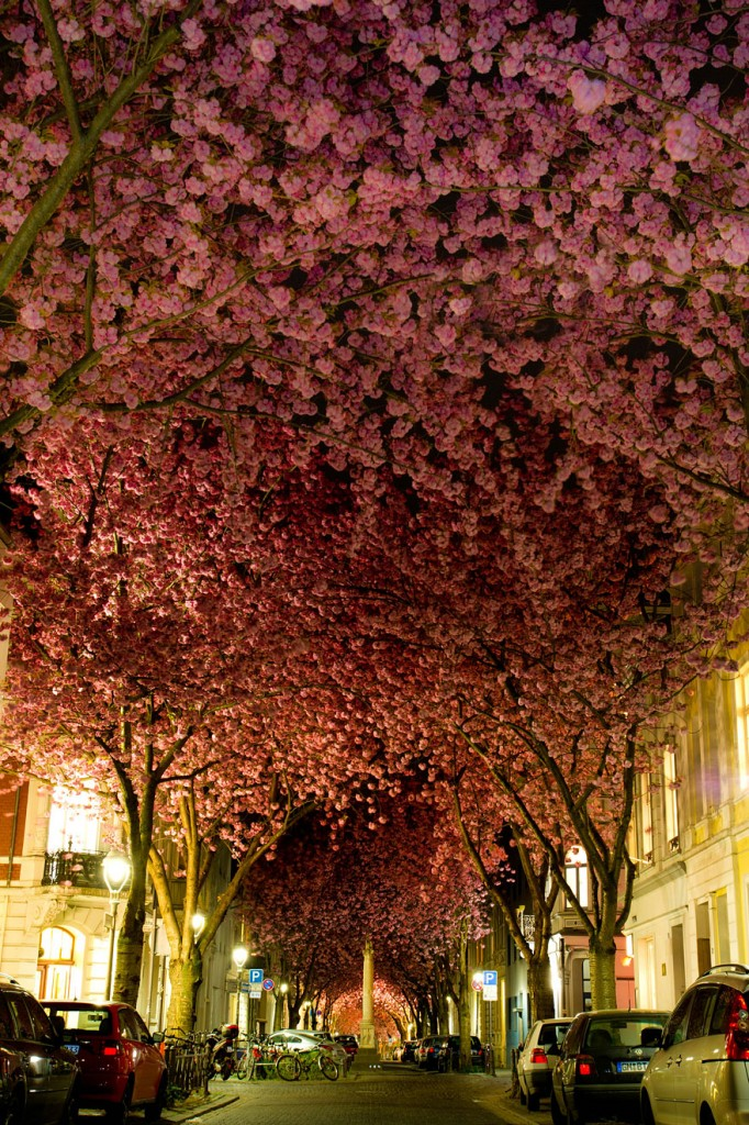 Tunnel of cherry blossoms, Bonn, Germany in April. Image by Adas Meliauskas