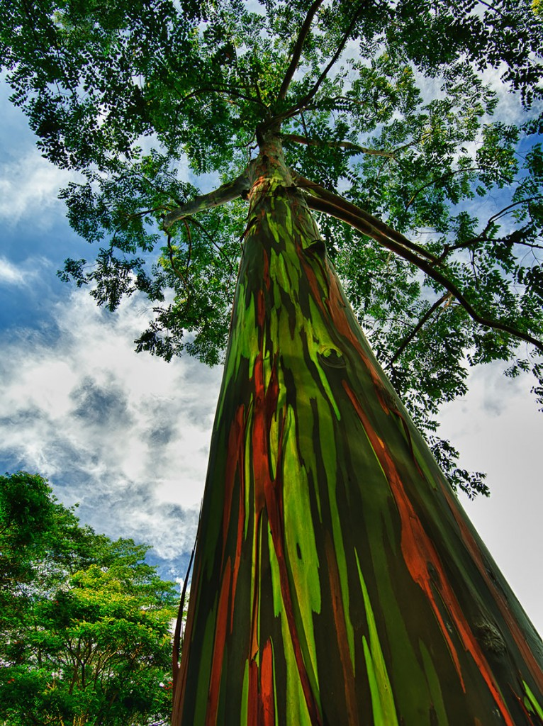 rainbow eucalyptus, by  jwilsonnorton