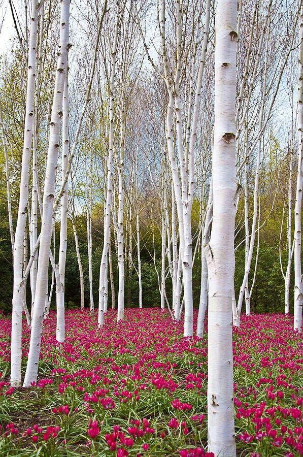 White cedar