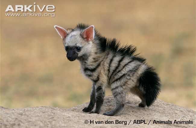 Ever heard of a baby Aardwolf?  By H. van den Berg