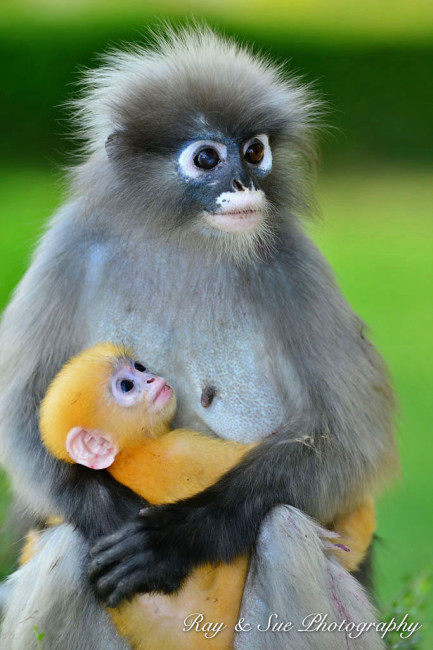 Dusky-Leaf Monkey, Thailand by Ray and Sue Photography