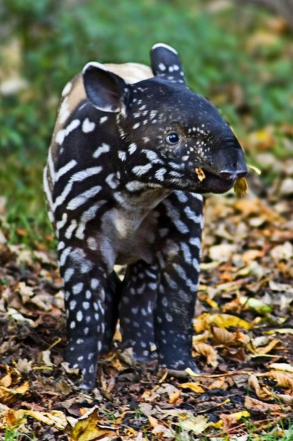 Baby tapir,  by sparky2000 on Flickr