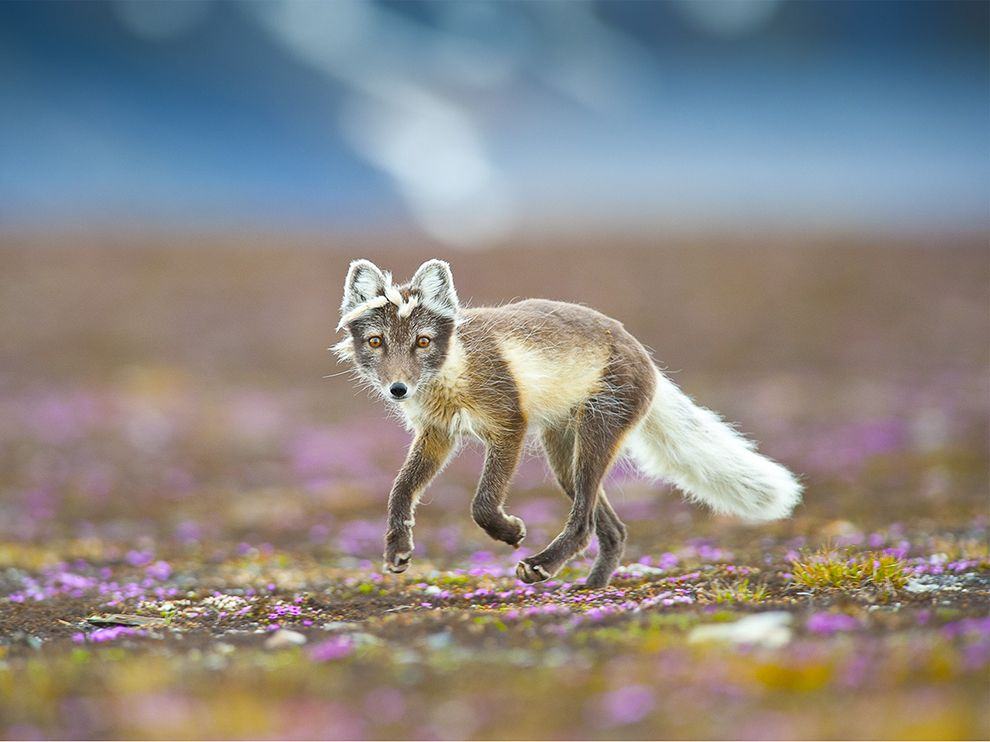 fox by Bjorn Anders Nymoen via National Geograhic