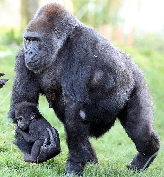 animals, gorilla