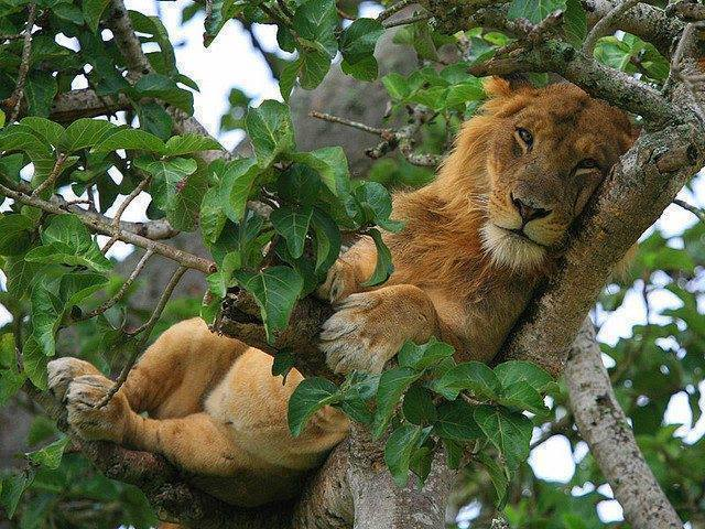 animals, lion in tree
