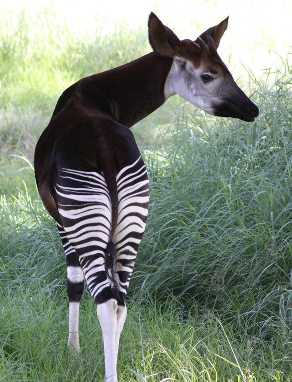 Okapi by Derek Keats on Flickr, animal designed by committee