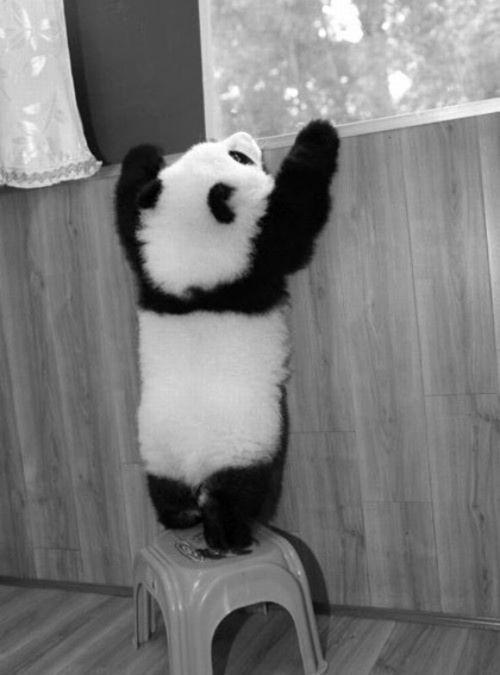 animals, panda (2)