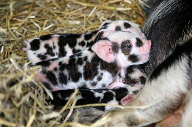 animals, piglets