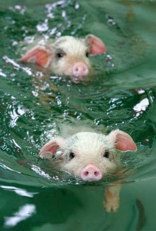 animals, pigs swim