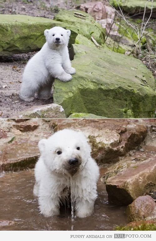 animals, polar pups