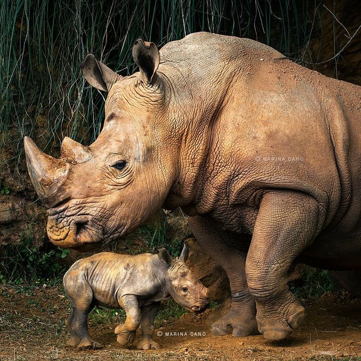 How about a cute baby rhino?