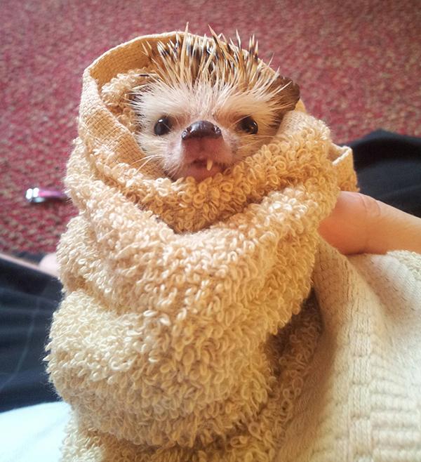 one-toothed hedgehog