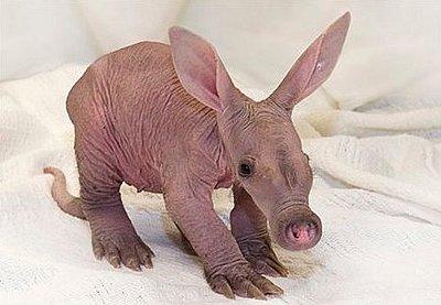 Baby aardvark?