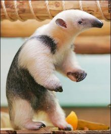 A baby anteater?