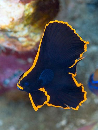 A juvenile pinnate spadefish