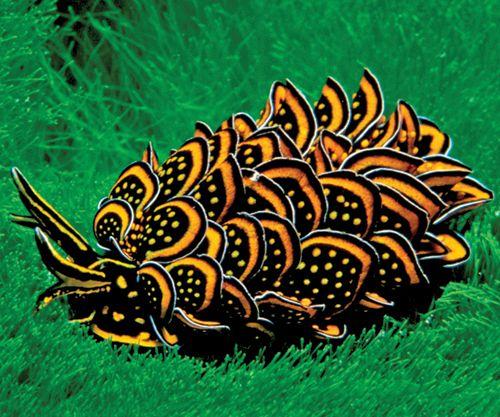 Colorful fish underwater life jelly fish art pics ocean life art - Sea Slugs Dusky S Wonders