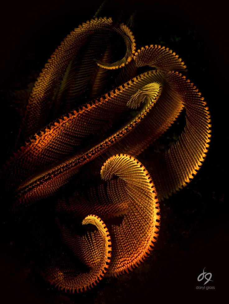 Feather star by Daryl Glass