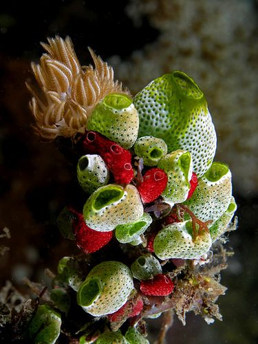 Bouquet of sea squirts,  by Nick Hobgood on flickr