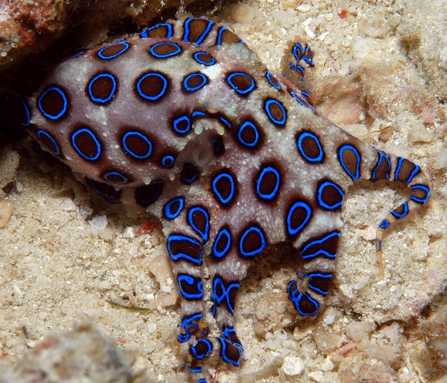 By murphy.laurence  on flickr, blue ringed octopus with a deadly bite