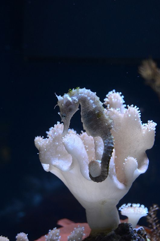 By tredhead on flickr, seahorse